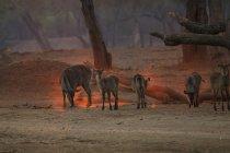 Waterbucks або Кобус ellipsiprymnus на світанку, Мана басейнів, Зімбабве, Африка. — стокове фото