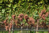 Закрыть вверх выстрел из винограда, растущего в винограднике — стоковое фото