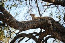 Leopardo che si trova sull'albero — Foto stock