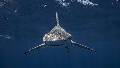 Плавательный акула песчаная отмель под водой — стоковое фото