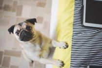 Собака стоит на ногах, прислонившись к кровати — стоковое фото