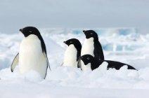 Pingüinos adelia en témpano de hielo - foto de stock
