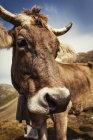 Portrait de vache regardant la caméra — Photo de stock