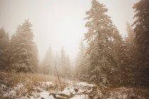 Сніг накривав лісу в туман, с. Sarsy, Свердловська область, Росія — стокове фото