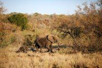 Elefante hembra líder elefantito por bush, Parque Nacional Kruger, Sudáfrica - foto de stock