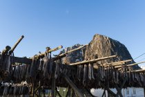 Cod fish drying on racks,  Hamnoy, Lofoten Islands, Norway — Stock Photo