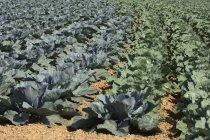 Cabbages growing in field, Roscoff, France — Stock Photo