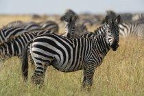 Zebre di pianura cammina al Masai Mara, Kenya, Africa — Foto stock