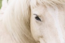 Portrait of Icelandic horse, close-up — Stock Photo