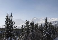 Vue panoramique de neige couverte arbres, le parc national de Denali, Alaska — Photo de stock
