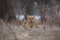 Левиця або Лев у вечірній світло, Мана басейни Національний парк, Зімбабве, Африка — стокове фото