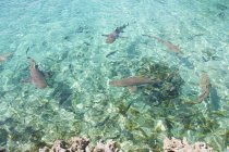 Tiburones nodriza en el Mar Caribe - foto de stock