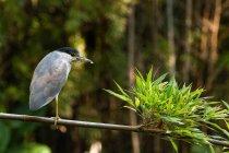 Black-crowned Night Heron — Foto stock