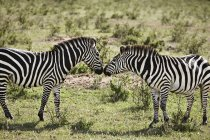 Wo zebras face to face on field in sunlight — Stock Photo