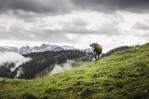 Самотня коровою і далеких гір, Archensee, Тіроль, Австрія — стокове фото