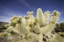 Flowering cactus, Joshua Tree national park, California, USA — Stock Photo