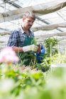 Organic farmer watering young plants in polytunnel — Stock Photo