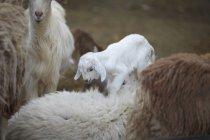 Коз и коза детские, Ibri, Az Захира, Оман, Ближний Восток — стоковое фото