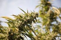 Primer plano de la flor de cannabis a la luz del sol - foto de stock