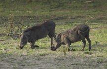 Warzenschweine oder Phacochoerus Aethiopicus Essen Grass, Botswana, Afrika — Stockfoto