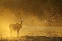 Eland standing at dawn, Mana Pools national park, Zimbabwe, Africa — Stock Photo