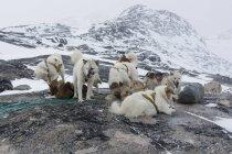 Gruppe von geharnischten Grönland Schlittenhunde im Schnee bedeckt Landschaft, Ilulissat, Grönland — Stockfoto