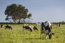 Herde friesischer Kühe weidet im Sonnenlicht auf der grünen Wiese — Stockfoto