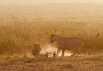 Dois leões jovens jogando no chão poeirento — Fotografia de Stock