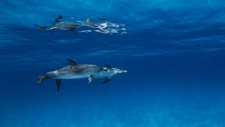 Atlantic spotted dolphins swimming under water — Stock Photo