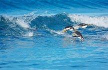 Manchots papous, surfer sur les vagues — Photo de stock