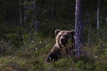 Brown bear sitting near tree in forest near kuhmo, finland — Stock Photo