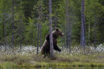 Brown bear leaning on tree in forest near kuhmo, finland — Stock Photo