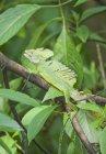 Lézard basilic sur branche d'arbre, Costa Rica — Photo de stock