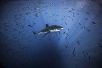 Большие белые акулы плавание с Стайные рыбы — стоковое фото