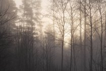 View of bare trees in misty forest — Stock Photo