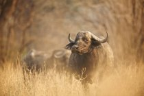 African buffalo or Syncerus caffer at Early morning light, Mana Pools National Park, Zimbabwe — Stock Photo