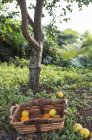 Korb mit geernteten Orangen im Garten — Stockfoto