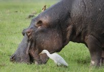 Oxpecker over a grazing Hippo or Hippopotamus amphibius and an egret in wilderness — Stock Photo