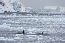 Vista frontal de las ballenas nadando en el canal de lemaire en la Antártida - foto de stock