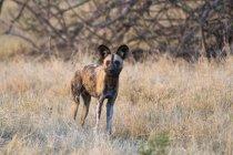 African wild dog in chobe national park, Botswana — Stock Photo