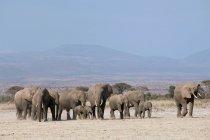 Стадо африканских слонов — стоковое фото