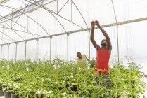 Trabalhadores amarrando plantas de tomate na fazenda hidropônica em Nevis, Índias Ocidentais — Fotografia de Stock