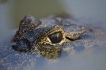 Occhio di coccodrillo su superficie d'acqua, vicino — Foto stock
