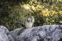 Portrait of squirrel on rock, Yosemite National Park, California, USA — Stock Photo