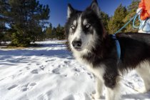 Portrait of wary dog in snow covered forest with man — Stock Photo