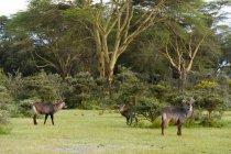 Wasserböcke oder Kobus ellipsiprymnus in wild, Lake Naivasha, Kenya, Afrika — Stockfoto