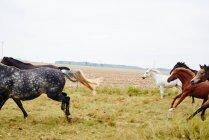 Sechs Pferde galoppieren über trockenes Feld — Stockfoto