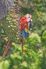 Dos encaramado guacamayas, Parque Nacional Corcovado, Costa Rica - foto de stock