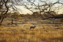 Gazelle walking in plain landscape, Namibia, Africa — Stock Photo