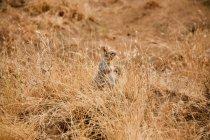 Bonito pequeno esquilo escondido na grama seca — Fotografia de Stock